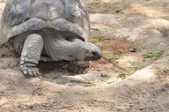 gigantyczny Galapagos tortoise Zdjęcia Royalty Free