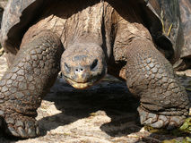 gigantyczny Galapagos tortoise Obrazy Royalty Free