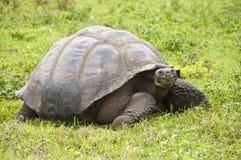 gigantyczny Galapagos tortoise Fotografia Stock