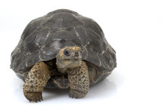 gigantyczny Galapagos tortoise Obraz Stock