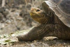 gigantyczny Galapagos tortoise Obraz Royalty Free