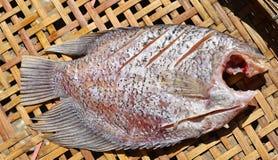 Gigantyczny gourami soląca ryba susząca na świetle słonecznym Fotografia Royalty Free