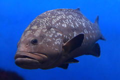 Gigantyczny grouper Fotografia Royalty Free