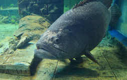 gigantyczny grouper Obrazy Royalty Free