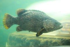 gigantyczny grouper Zdjęcia Royalty Free
