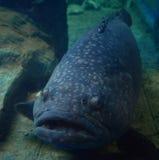 Gigantyczny grouper - Queensland grouper Zdjęcie Stock