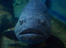 Gigantyczny grouper - Queensland grouper Zdjęcia Stock