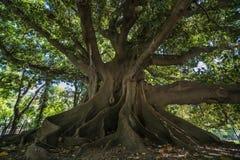 Gigantyczny Gumowy drzewo Fotografia Royalty Free