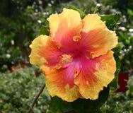 gigantyczny hibiskus Fotografia Royalty Free