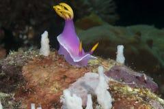 Gigantyczny hypselodoris apolegma nudibranch na koralu Bali Zdjęcie Stock