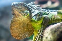 Gigantyczny iguana portret jest odpoczynkowy w zoo Zdjęcia Stock