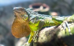 Gigantyczny iguana portret jest odpoczynkowy w zoo Zdjęcia Royalty Free