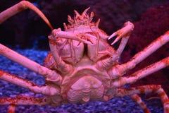 Gigantyczny Japoński pająka krab Obrazy Royalty Free