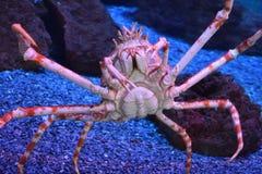 Gigantyczny Japoński pająka krab Obrazy Stock