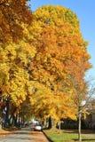 Gigantyczny jesień kanadyjczyka liść klonowy Zdjęcia Stock