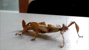 Gigantyczny kłujący kija insekt, spiny liścia insekta woda pitna/ zbiory wideo