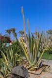 Gigantyczny kaktus i agawa ogromni Zdjęcia Royalty Free