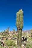 Gigantyczny kaktus w Ameryka Południowa Fotografia Stock