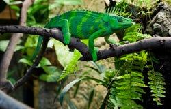 Gigantyczny kameleon Fotografia Royalty Free