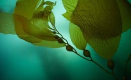Gigantyczny Kelp 2 Zdjęcie Stock