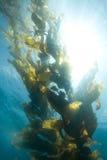 gigantyczny kelp Zdjęcia Royalty Free
