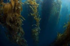 Gigantyczny Kelp dorośnięcie Zdjęcia Royalty Free