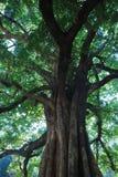 Gigantyczny kudzu drzewo w nizhu rzecznym wąwozie, Liupanshui, Guizhou, Chiny, è'µå·žå… ç› ˜æ°, ä¸å› ½ obrazy royalty free