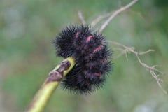 Gigantyczny lamparta ćma Caterpillar Fotografia Stock