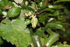 Gigantyczny liścia insekta Phyllium giganteum zdjęcia stock