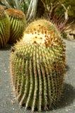 Gigantyczny lufowy kaktus zdjęcie royalty free