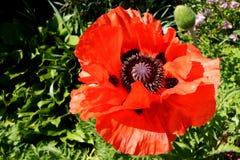 Gigantyczny makowy kwiat Obrazy Royalty Free