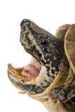gigantyczny meksykański piżmo żółw Zdjęcia Stock