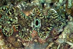 Gigantyczny milczek, Perhentian wyspa, Terengganu Obrazy Royalty Free