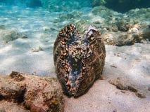 Gigantyczny milczek z Jaskrawy Barwiącym wnętrzem na Piaskowatej ocean podłodze obrazy royalty free