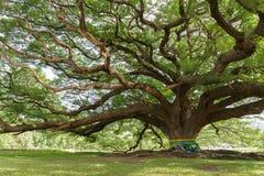 Gigantyczny mimozy drzewo Zdjęcia Royalty Free