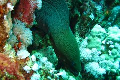 Gigantyczny murena węgorz przygotowywający uwalniać pływanie Podwodni wizerunki piękne super colourful rafy Czerwony morze fotografia royalty free