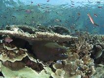 Gigantyczny murena węgorz i rafy ryba Zdjęcia Stock