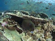 Gigantyczny murena węgorz i rafy ryba Obrazy Stock