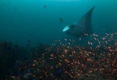 Gigantyczny oceaniczny manta promień przy cleaning stacją Zdjęcie Royalty Free
