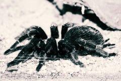 gigantyczny pająk Zdjęcie Stock
