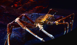 Gigantyczny pająka krab na akwarium Zdjęcia Royalty Free