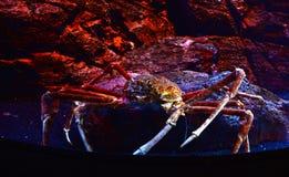 Gigantyczny pająka krab na akwarium Fotografia Stock