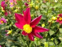 Gigantyczny pink&yellow kwiat natura obraz stock