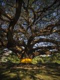 Gigantyczny podeszczowy drzewo Fotografia Royalty Free