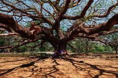 Gigantyczny podeszczowy drzewo antyczny podeszczowy drzewo - larg - Super duży podeszczowy drzewo - Fotografia Royalty Free