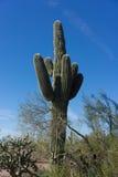 Gigantyczny Saguaro kaktus Obrazy Stock