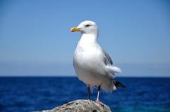 Gigantyczny Seagull Fotografia Royalty Free