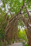 Gigantyczny Stary drzewo obrazy stock