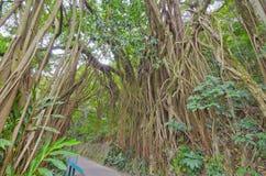 Gigantyczny Stary drzewo zdjęcie royalty free