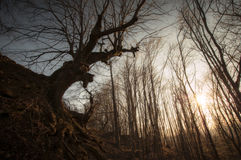 Gigantyczny stary drzewo w jesień lesie przy jesienią przy zmierzchem Fotografia Royalty Free